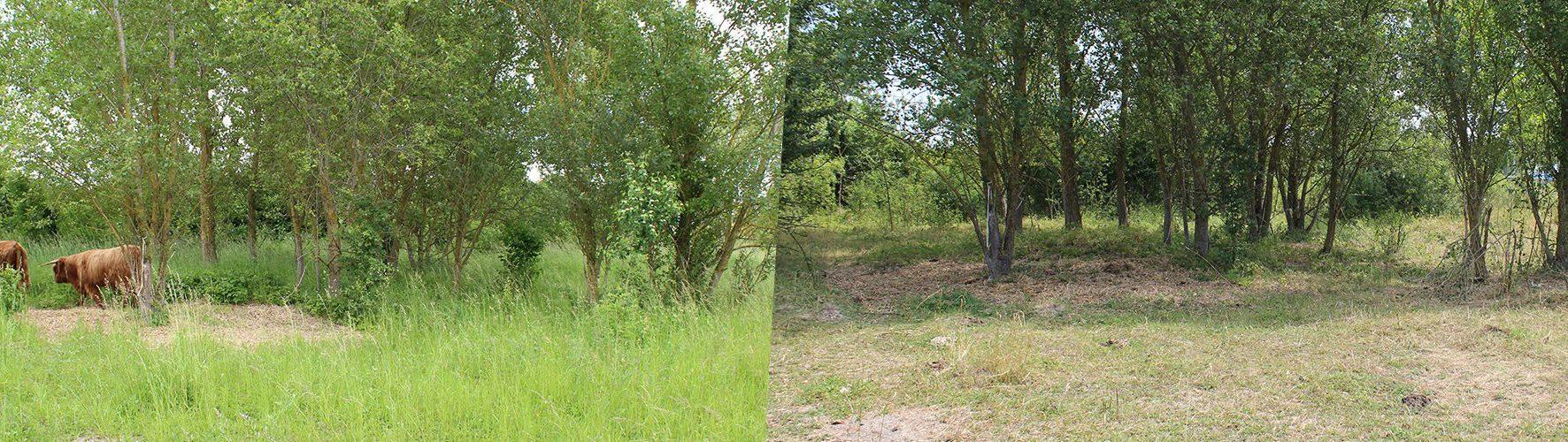 resultat-entretien-et-debroussaillage-du-terrain-par-nos-vaches-highland-cattle